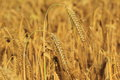 Barley Field Stock Photography - 57992312