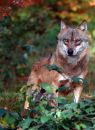 Wolf Check The Photographer Stock Photography - 583982