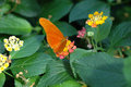 Torch (dryas Julia) On Yellow And Pink Flower Royalty Free Stock Photo - 587985