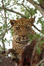 Leopard In A Tree With Kill Royalty Free Stock Photo - 5807575