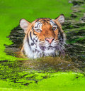 Tiger In The Water Stock Photography - 58001802