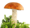 Mushroom Orange-cap Boletus In Moss Stock Photo - 58034120
