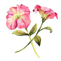Watercolor With Petunia Flower Royalty Free Stock Photography - 58051417