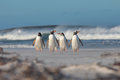 Four Gentoo Penguins Walking From The Sea. Stock Images - 58053884