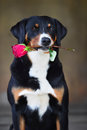 Sennenhund Appenzeller Tricolor Dog With Rose In The Mouth Stock Images - 58061064