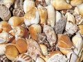 Shells Royalty Free Stock Images - 58066089