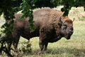European Bison (Bison Bonasus). Stock Images - 58082304