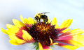 Bumble Bee On  Red And Yellow Flower Royalty Free Stock Image - 58130456
