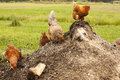 Chickens On Compost Royalty Free Stock Images - 58133439