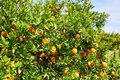 Beautiful Orange Grove In Northern Morocco Stock Photography - 58137222