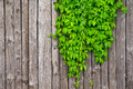 A Fence Made Of Wood With Wild Grapes Curly Ivy Royalty Free Stock Photo - 58138595