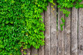 A Fence Made Of Wood With Wild Grapes Curly Ivy Royalty Free Stock Images - 58138599