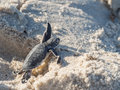 Baby Green Sea Turtle Royalty Free Stock Photography - 58161837