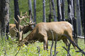 Elks Grazing In A Forest Royalty Free Stock Photos - 5826438