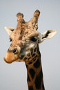 Head Of Giraffe In A Zoo Stock Images - 58202054