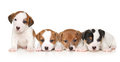 Jack Russell Terrier Puppies Stock Photography - 58206102