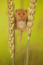 Harvest Mouse On Wheat Royalty Free Stock Photos - 58222068