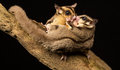 Wild Little Sugar Gliders Kissing Royalty Free Stock Photo - 58224095