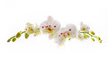 Beautiful White Orchid Flower Over White Background Stock Photos - 58240003