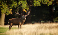 A Red Deer Stag Stock Photo - 58270690