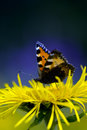 Red Admiral Butterfly Royalty Free Stock Image - 5833646