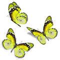 Three Yellow Butterfly Stock Photos - 58335143