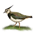 Northern Lapwing Royalty Free Stock Photos - 58345498