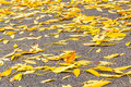 Yellow Autumn Leaves Of Ash On The Asphalt Royalty Free Stock Image - 58359126