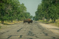 Bison Crossing Royalty Free Stock Images - 58361609