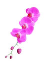 Pink Orchid Flower Isolated On White Royalty Free Stock Photography - 58367977