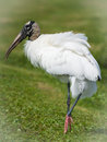Wood Stork Stock Images - 58385104