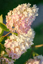 Hydrangea Royalty Free Stock Images - 58393299