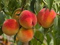 Riped Juicy Peaches On The Tree Just Before Harvest Royalty Free Stock Photography - 58396937