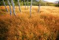 Aspen Trees In A Meadow Royalty Free Stock Image - 5841466