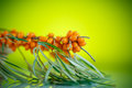 Sea Buckthorn Royalty Free Stock Image - 58418666