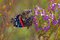 Red Admiral Stock Photos - 58429703