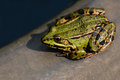 Green Frog Royalty Free Stock Photo - 58439235