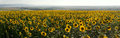 Panorama Of Agriculture Sunflowers Meadow. Stock Images - 58464924