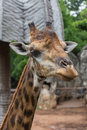 Closeup Face Of Giraffe In The Zoo Royalty Free Stock Photography - 58491317