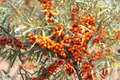Sea-buckthorn Stock Photo - 58491330