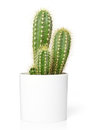 Cactus In Pot Royalty Free Stock Photo - 58493345