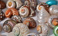 Sea Shells Stock Photos - 58524783