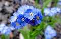 Small Blue Flowers Forget-me-not Stock Images - 58542024