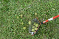 Picking Up Fallen Walnuts And Other Nuts Royalty Free Stock Photo - 58544205