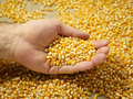 Corn Grains In The Palm Stock Images - 58557944