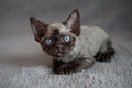 Adorable Back Devon Rex Kitten Is Laying Down On A Sofa Stock Photo - 58563890