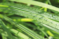 Water Drops On Lemongrass Leaves Royalty Free Stock Image - 58576486