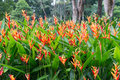 Heliconia Flowers In The Garden Royalty Free Stock Photos - 58598118