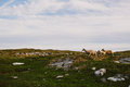 Scandinavian Countryside With Sheep Royalty Free Stock Images - 58599829