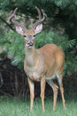 White-tailed Deer Buck Royalty Free Stock Photos - 5861398